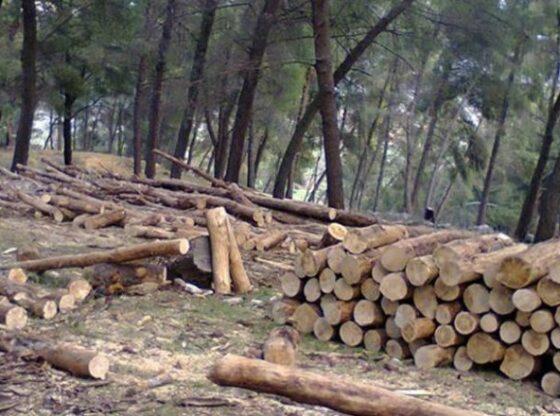 318 dru ne pyll tre te arrestuar1 560x416 - Ishin duke vjedhur pyllin, arrestohet një person dhe arratiset vëllai i tij